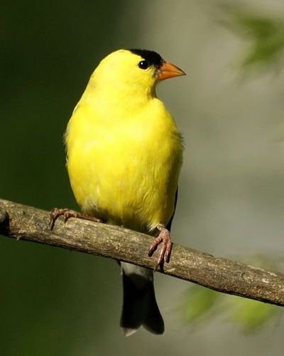 AUDUBON WILD REPUBLIC BELTED KINGFISHER SONG BIRD NWT *****  NO SOUND *****