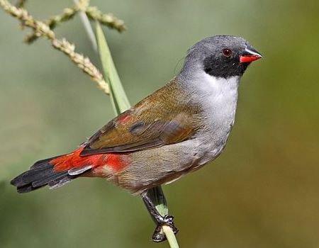 Bird Estrildidae Waxbills Munias Allies Fat Birder